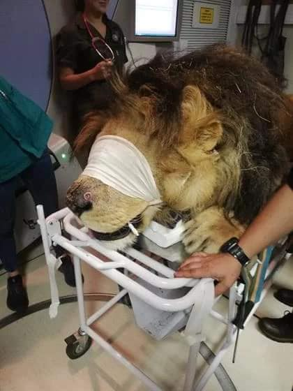 A Lion With Skin Cancer Has Received Radiation Therapy In Hospital Nestia