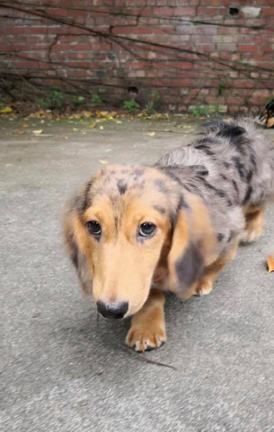 3 Mini Dachshunds Up For Adoption